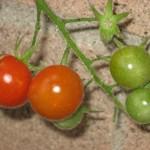 CherryTomato1