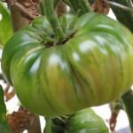 Heirloom green on vine 3