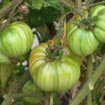 Heirloom green on vine 5