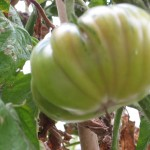 Heirloom green on vine 6
