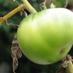 Heirloom green on vine 7 (2)